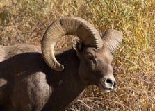 Male Bighorn Sheep, Waterton Canyon, Littleton Colorado royalty free stock image