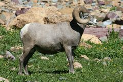 Male Bighorn standing Stock Photo