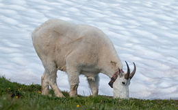 Male Bily Mountain Goat (Oreamnos Americanus) on Hurricane Hill snowfield in Olympic National Park in Washington State. USA Royalty Free Stock Image