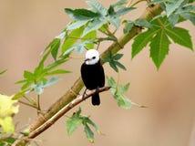 Male bird arundinicola leucocephala male on branch of tree Stock Photos