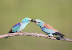 Male bird Breasted rollers feeding female Royalty Free Stock Images