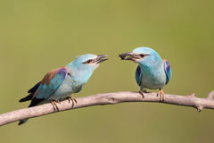 Male bird Breasted rollers feeding female Stock Photography
