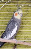 male bird nymph in grey with yellow in a cage stock photos
