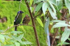 Male birds and baby bird paired on the branches stock photography