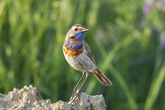 The male birds are the Bluethroat Stock Photography