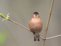 The male birds of the Finch sings in the woods surrounded by you Royalty Free Stock Images