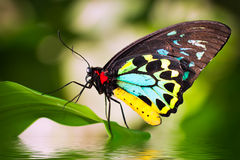 Male Birdwing butterfly (Ornithoptera euphorion) Stock Photos
