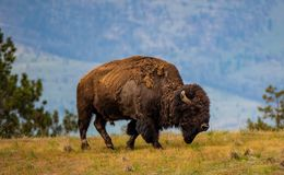 Free Male Bison At The National Bison Range Stock Image - 118036941