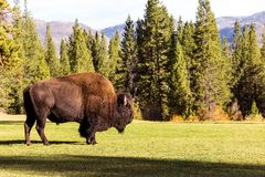 Male bison buffalo grazing Royalty Free Stock Photography