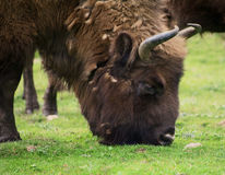 Male Bison grazing royalty free stock photo