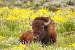 Free Male Bison Lying In The Field With Flowers, Yellowstone National Stock Image - 132015251