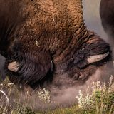 Male Bison Rubs Face in Dirt. As power status stock photos