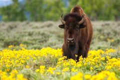 Free Male Bison Standing In The Field With Flowers, Yellowstone National Park, Wyoming Royalty Free Stock Images - 139194949