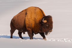Male bison walking in the snow. 1 Royalty Free Stock Image