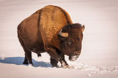 Male bison walking in the snow. 1 Royalty Free Stock Photography