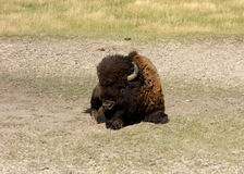 A male bison in wyoming royalty free stock photo
