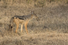 Male black-backed jackal tagging territory in the savanna in the Stock Photos