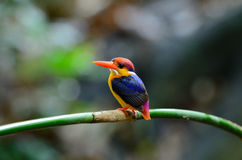 Male Black-backed Kingfisher (Ceyx erithacus) Royalty Free Stock Images