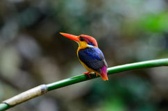 Male Black-backed Kingfisher (Ceyx erithacus) Stock Photo