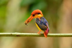 Male Black-backed Kingfisher Ceyx erithacus Royalty Free Stock Image