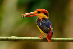 Male Black-backed Kingfisher Ceyx erithacus Stock Images