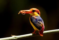 Male Black-backed Kingfisher Ceyx erithacus Stock Image