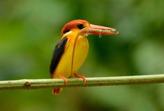 Male Black-backed Kingfisher Ceyx erithacus Royalty Free Stock Images