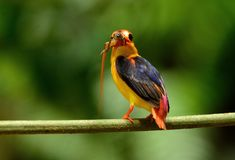 Male Black-backed Kingfisher Ceyx erithacus Royalty Free Stock Photography