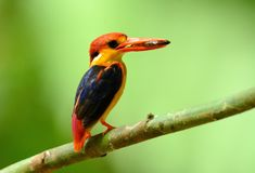 Male Black-backed Kingfisher Ceyx erithacus Stock Photo