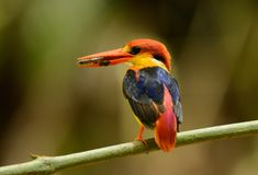 Male Black-backed Kingfisher Ceyx erithacus Stock Photos