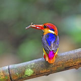 Male Black-backed Kingfisher Royalty Free Stock Photography