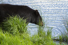 Male Black bear Stock Photography