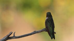 Male Black Chinned hummingbird perched on small branch