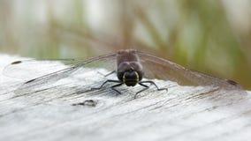 Male Black darter (Sympetrum danae) Royalty Free Stock Images