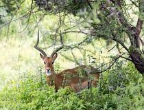 A male black-faced impala antelopes (Aepyceros melampus) Stock Image