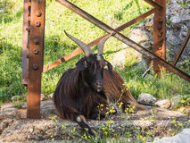 Male black goat laying Stock Image