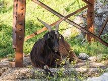 Male black goat laying. Under power transmission pole Stock Image