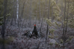 Male Black Grouse at swamp courting place before dawn Stock Image