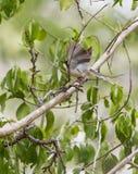 Male Black-headed Apalis Warbler fluttering Stock Image