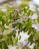 Male Black-headed Apalis Warbler Royalty Free Stock Images