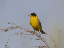 Male Black-headed Bunting. Royalty Free Stock Images