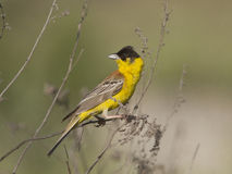 Male Black-headed Bunting. Stock Photos