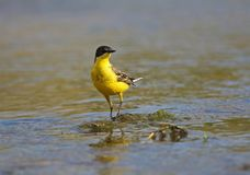 Black headed Wagtail. Male Black headed Wagtail at Kalloni Salt Pans ,Lesvos royalty free stock photo
