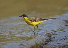 Black headed Wagtail. Male Black headed Wagtail at Kalloni Salt Pans ,Lesvos stock photo