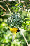 Male black-headed weaver bird. Building a nest Royalty Free Stock Photos