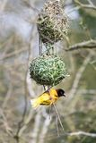 Male black-headed weaver bird. Building a nest Royalty Free Stock Image