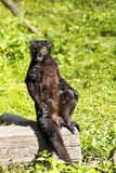 Male Black lemur, Eulemur m. macaco Royalty Free Stock Photography