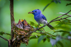 Male Black-naped monarch Stock Photos