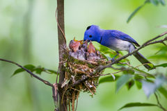 Male Black-naped monarch (Hypothymis azurea) Royalty Free Stock Photo