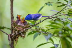 Male Black-naped monarch. (Hypothymis azurea) with his family in nature at Kaengkrajarn national park,Thailand royalty free stock photography